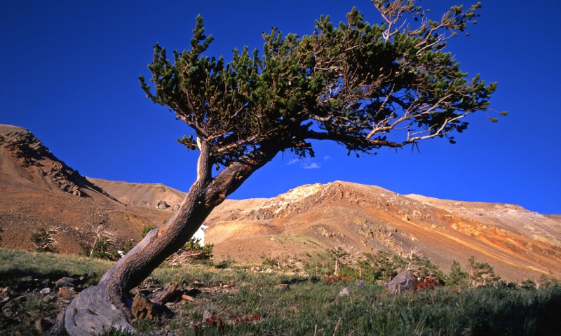Bristlecone Pine Tree in Arapaho National Forest