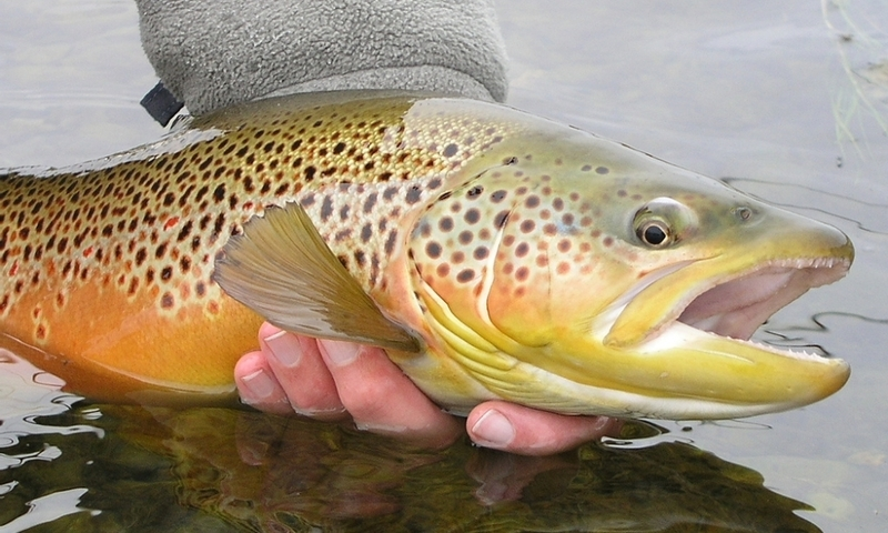 Brown Trout Fishing Bighorn River