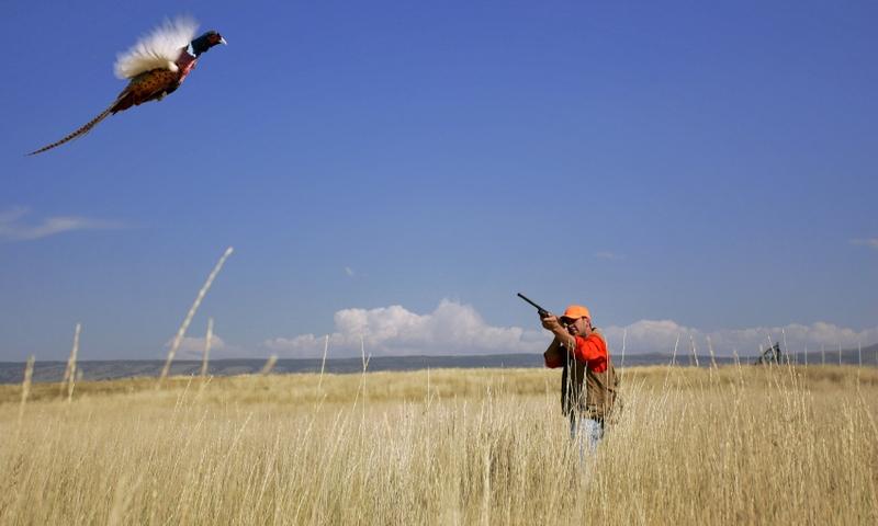 Hunting Pheasant